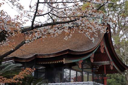 山桜-1(20190325).jpg