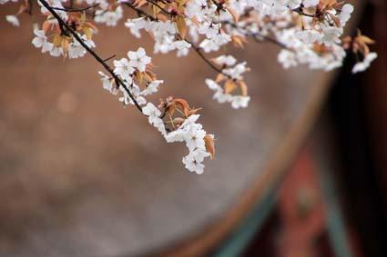 山桜-3(20190325).jpg