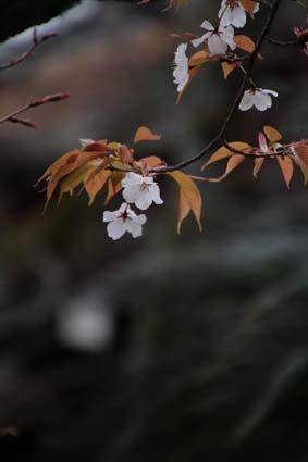 山桜-4(20190325).jpg
