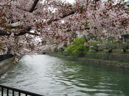 岡崎の桜-4(20190414).jpg