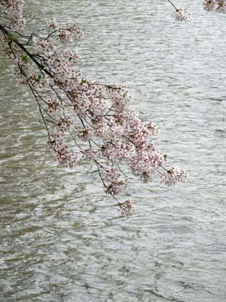 岡崎の桜-6(20190414).jpg
