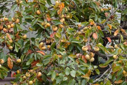 柿の収穫-2(20191005).jpg