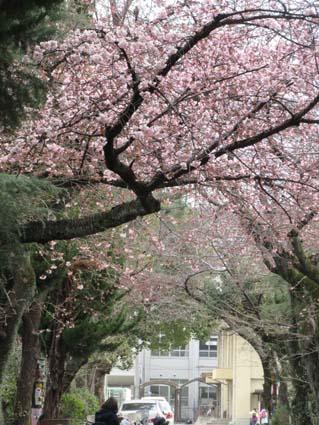 桜-1(20170314).jpg