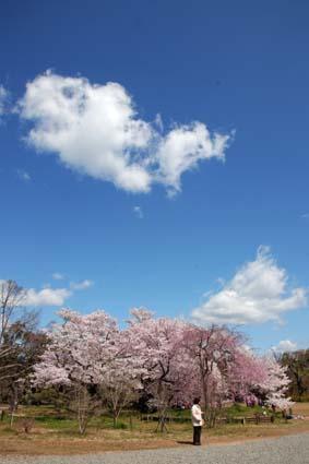 桜-2(20190409).jpg