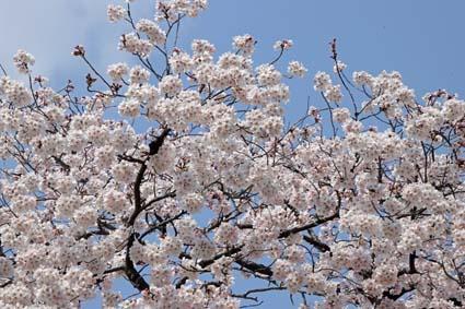 桜狂宴-7(20190406).jpg