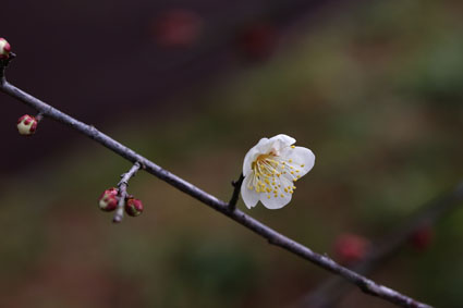 梅の花-1(20200109).jpg