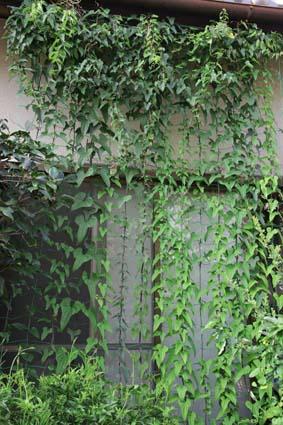 緑のカーテン-11(20190729).jpg